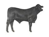 Brangus Bull  Beef Cattle  Mammals