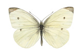 Cabbage Butterfly (Pieris Rapae)  Insects