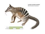 Numbat (Myrmecobius Fasciatus)  Banded Anteater  Marsupial  Mammals