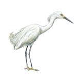 Snowy Egret (Leucophoyx Thula)  Birds