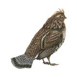 Ruffed Grouse (Bonasa Umbellus)  Birds