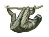 3-Toed Sloth (Bradypus Tridactylus)  Mammals