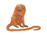 Golden Lion Tamarin or Golden Lion Marmoset (Leontideus Rosalia)  Mammals