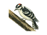 Downy Woodpecker (Dendrocopus Pubescens)  Birds