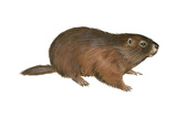 Woodchuck (Marmota Monax)  Mammals
