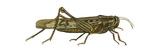 American Grasshopper (Schistocerca Americana)  Insects