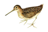 Common Snipe (Gallinago Gallinago)  Birds