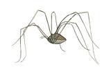 Harvestman (Leiobunum Flavum)  Spider  Arachnids