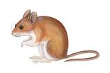 Golden Mouse (Peromyscus Nuttalli)  Mammals