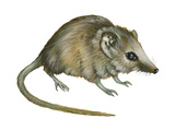 Flat-Skulled Marsupial Mouse (Planigale)  Marsupial  Mammals