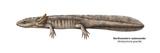 Urodele Larva  Northwestern Salamander (Ambystoma Gracile)  Amphibians