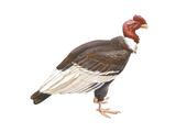 Andean Condor (Vultus Gryphus)  Birds