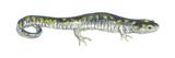 Spotted Salamander (Ambystoma Maculatum)  Amphibians