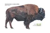 American Bison (Bison Bison)  Plains Buffalo  Mammals