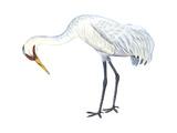 Whooping Crane (Grus Americana)  Birds