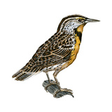 Eastern Meadowlark (Sturnella Magna)  Birds