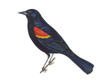 Red-Winged Blackbird (Agelaius Phoeniceus)  Birds