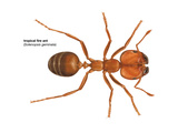 Tropical Fire Ant (Solenopsis Geminata)  Insects