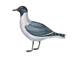 Laughing Gull (Larus Atricilla)  Birds