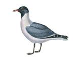 Laughing Gull (Larus Atricilla)  Birds