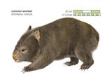 Common Wombat Phascolomis  or Vombatus Ursinus