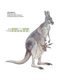 Female Red Kangaroo with Joey (Macropus Rufus)  Marsupial  Mammals