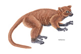 Notharctus  Extinct Lemur  Mammals