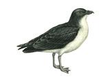 Diving Petrel (Pelecanoides Urinatrix)  Birds
