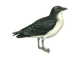 Diving Petrel (Pelecanoides Urinatrix)  Birds