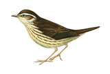 Water Thrush (Seiurus Noveboracensis)  Birds