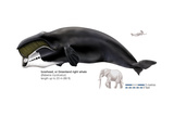 Greenland Right Whale or Bowhead (Balaena Mysticetus)  Mammals