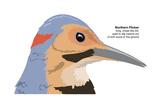 Northern Flicker (Colaptes Auratus)  Birds
