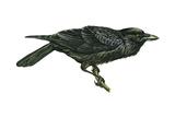 Common Raven (Corvus Corax)  Birds