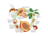 Life Cycle of the Fig Wasp (Agaonidae) Insects  Biology