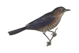 Rusty Blackbird (Euphagus Carolinus)  Birds
