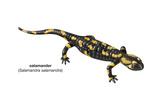Salamander (Salamandra Salamandra)  Amphibians
