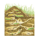 Harvester Ant Colony Cross Section Insects  Biology