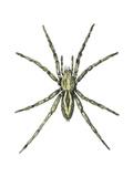 Wolf Spider (Lycosa Communis)  Arachnids