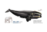 Black Right Whale or Northern Right Whale (Eubalaena Glacialis)  Mammals