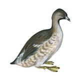 Pied-Billed Grebe (Podilymbus Podiceps)  Birds