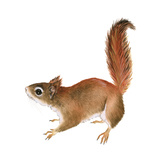 Red Squirrel (Sciurus Vulgaris)  Mammals