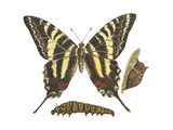 Zebra Swallowtail Butterfly  Caterpillar  and Pupae (Eurytides Marcellus)  Insects