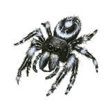 Daring Jumping Spider (Phidippus Audax)  Arachnids