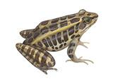 Pickerel Frog (Rana Palustris)  Amphibians
