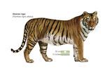 Siberian Tiger (Panthera Tigris Altaica)  Cat  Mammals