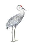 Sandhill Crane (Grus Canadensis)  Birds