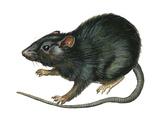 Black Rat (Rattus Rattus)  Mammals