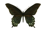 Pipevine Swallowtail (Battus Philenor)  Insects