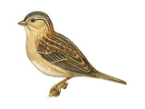 Grasshopper Sparrow (Ammodramus Savannarum)  Birds
