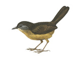 Streaked Long-Tailed Wren-Babbler (Spelaeornis Chocolatinus)  Birds